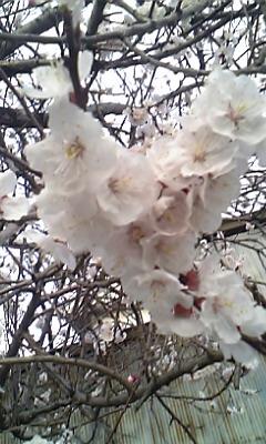 咲いてる桜み〜っけ