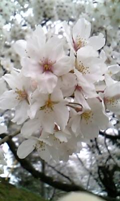 花〜ソメイヨシノ