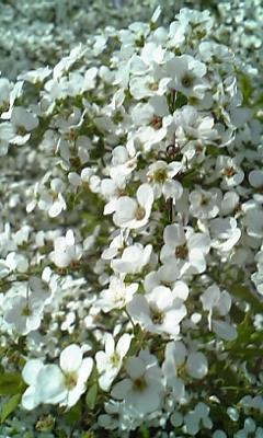 花〜ゆきやなぎ