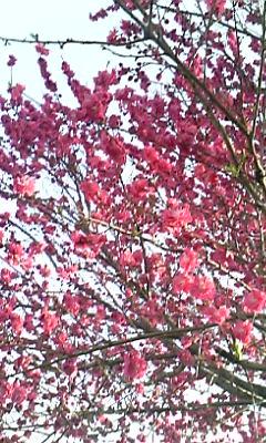 花〜八重桜