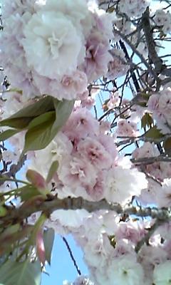 花〜やえざくら