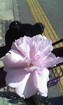 花〜やえざくらあっぷ