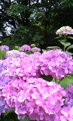 花〜紫陽花 あか