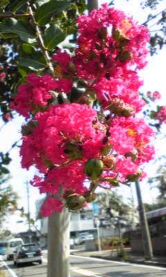 花〜さるすべり