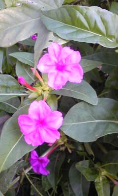 花〜オシロイバナ