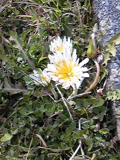 花〜しろたんぽぽ