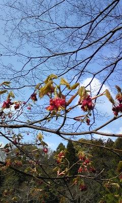 花〜ハウチワカエデ