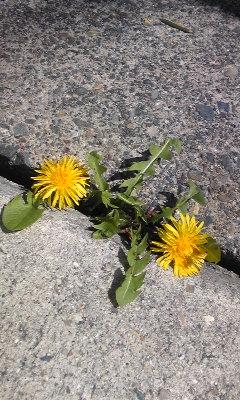 花〜たんぽぽ