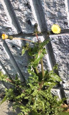 花〜たぶんハルノノゲシ