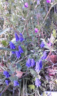 花〜たぶんムスカリ。とカラスノエンドウ