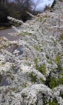 花〜ユキヤナギ