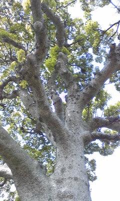 長太の大樟