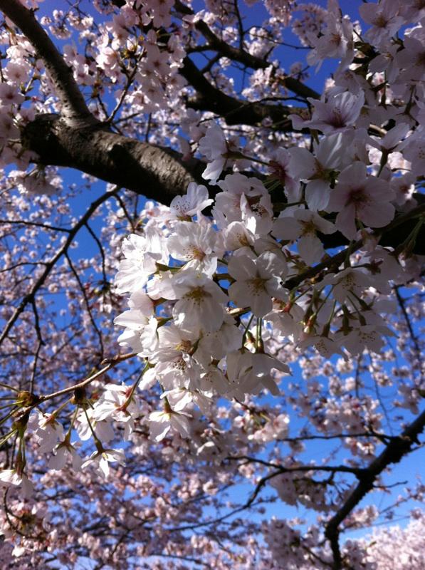 山崎川の桜並木